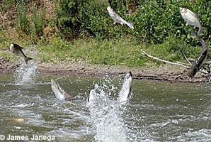 jumping_carp
