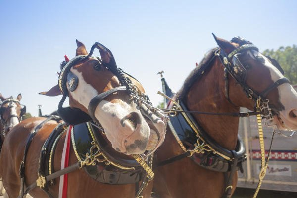 The Budweiser Clydesdales returned to the State Fair in 2013. (Photo by Jeff Rutherford)
