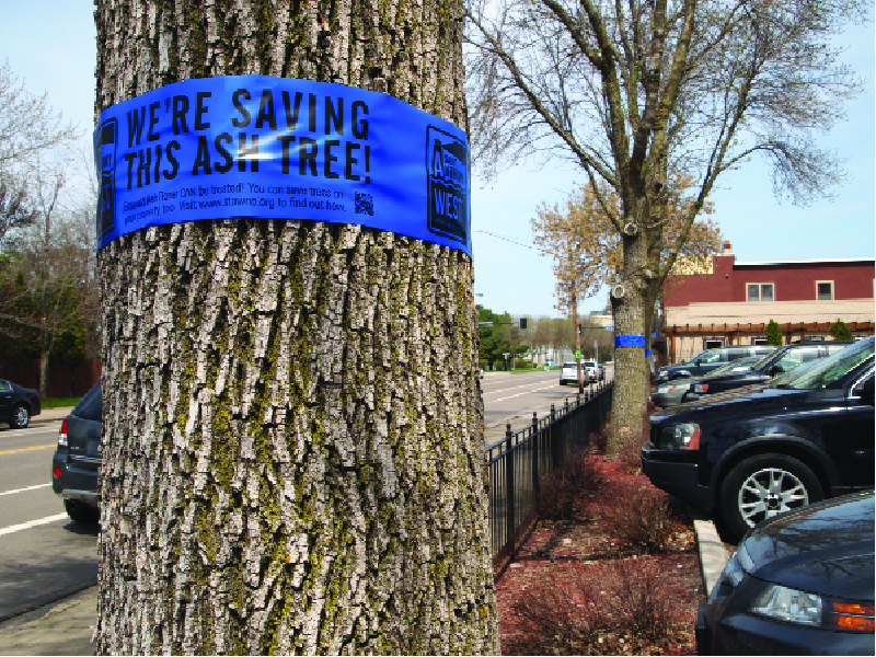 Blue bands placed by St. Anthony West Neighborhood volunteers, and laminated posters placed by Minneapolis Parks & Recreation tell complementary stories about what to do in the face of the invading Emerald Ash Borer. The park board will have EAB information and answer questions July 18 at 6:30 p.m. during a free neighborhood barbecue at Dickman Park. The neighborhood organization has identified trees to treat along Main, 2nd, 4th, and Marshall streets, 9th and 10th Avenues and a smattering of other locations. (Photos by Margo Ashmore)
