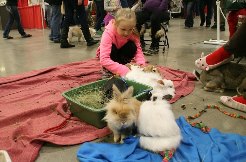 a_young_visitor_to_pet_expo_drops_by_the_minnesota_companion_rabbitsociety