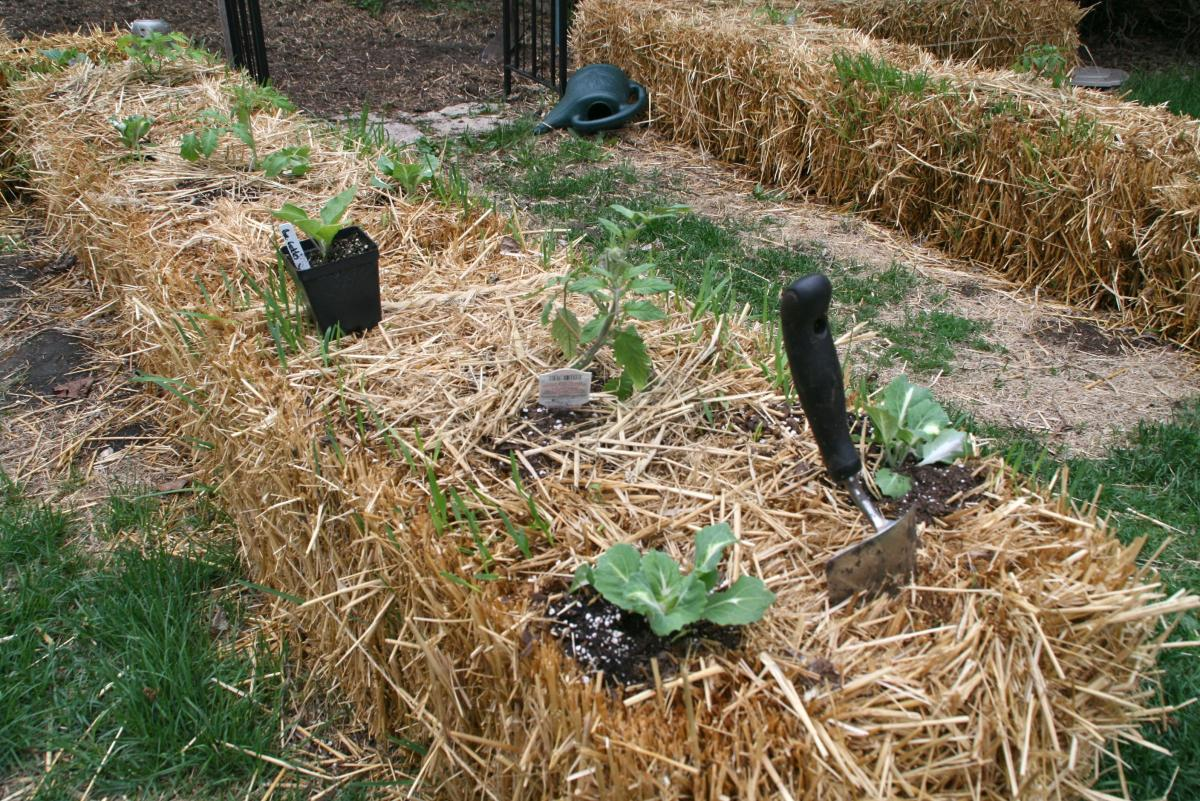 Global Groceries Straw Bale Garden Diary May To October Twin Cities Daily Planet