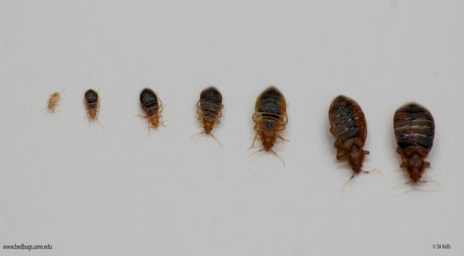 Really Small Bed Bugs Bed bug images Bed bug first instar on